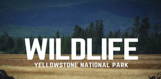 Wildlife in Yellowstone