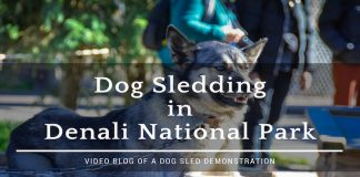 dog sledding in denali